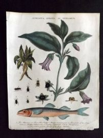 Wilkes Londinensis 1809 HC Botanical. Deadly Nightshade & Marseilles Smelt Fish